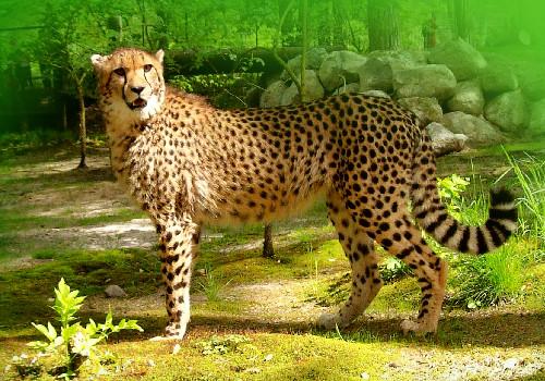 http://www.infotheken.net/Zoo/gepard1.jpg