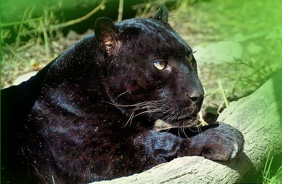 Schwarzer panther steckbrief